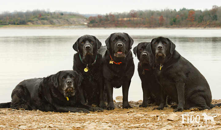 Labrador Retrievers posing at the lake in Reading, PA