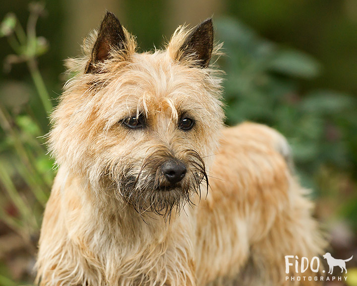 Cairn_Terrier_Play