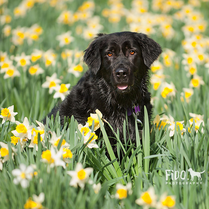 Delaware daffodil dog portraiture with black dog in field of Spring daffodils
