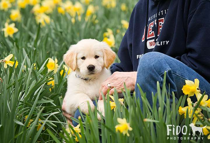 Delaware dog photography golden retriever puppy with owner in daffodils