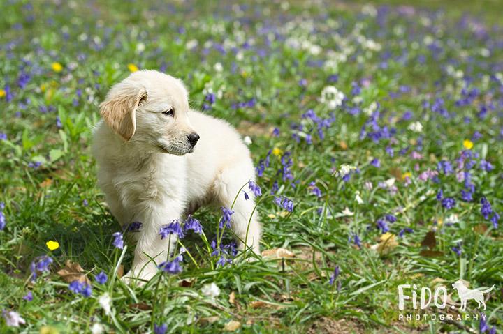 Outdoor Spring pet portraits golden retriever puppy standing in bluebells