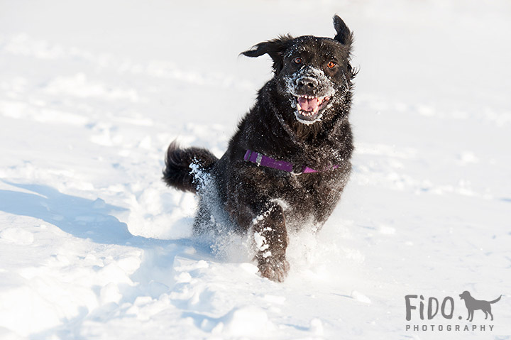 Black dog in snow having fun jumping and smiling in Delaware