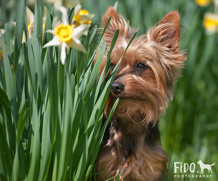 Wilmington dog photography Yorkshire Terrier hiding behind daffodils