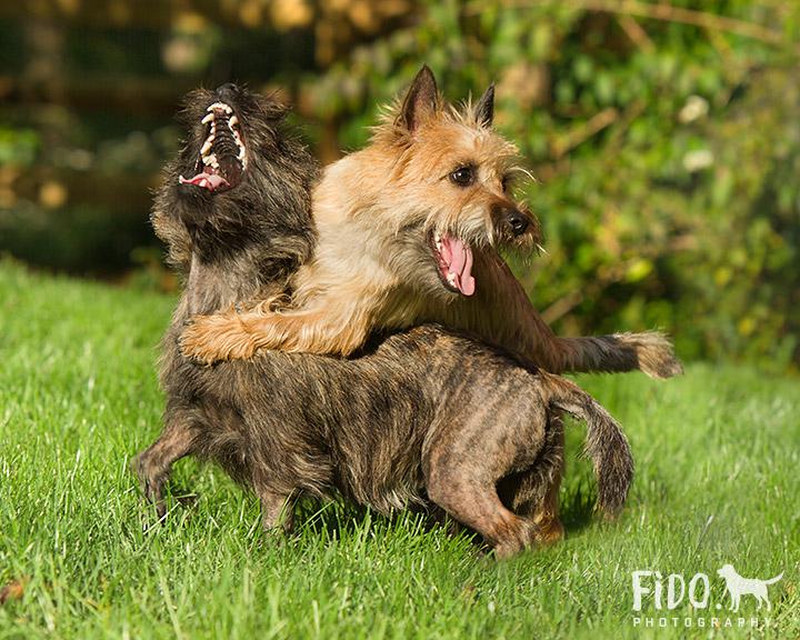 Delaware_Terrier_Photo